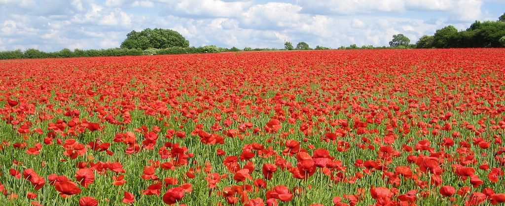 A field of red poppy flowers with big green trees and a blue, partly clouded sky in the background